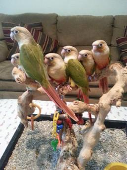 parrots for sale in florida, pineapples, conure, conures, pineapple, green cheeked, green cheeks, greencheeked, bird, birds, babies, baby, handfeeding, handfed, hand-feeding, weaned, weaning, lovable