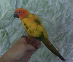 Conures for Sale in Florida - Hand-fed Babies