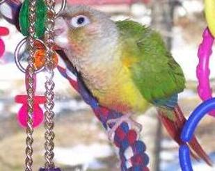 Mutation Green-cheeked conures, lovable, gentle, colorful, playful, active, parrot, green-cheeked conure